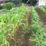 【トウモロコシが倒壊の危機!!《原因は『雑草の一掃作戦』?》『眉毛抜き』と『たるみ』の因果関係。】