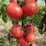 《マルシェは6月20日!》【お弁当の販売もします!!】【京都産 自然栽培の野菜マルシェ】