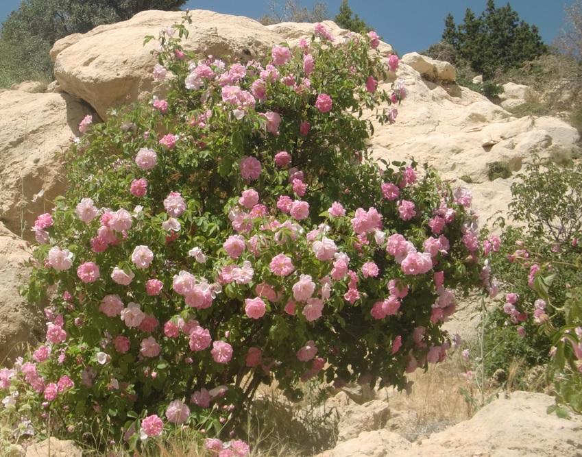 rose7