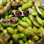 【「幻の味」丹波 黒枝豆 収穫始まりました!】