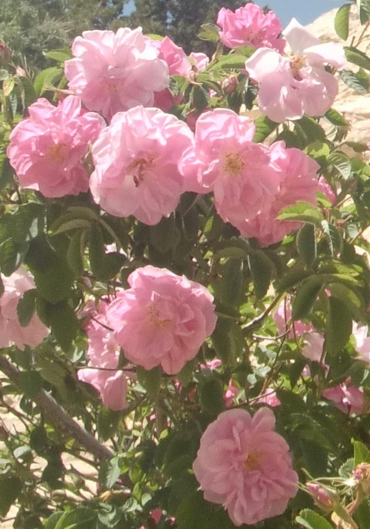 rose2 のコピー