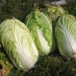 自然薯、レンコンなど多数持参!!《1月10日、田園調布へGO!》【京都産 自然栽培の野菜マルシェ】