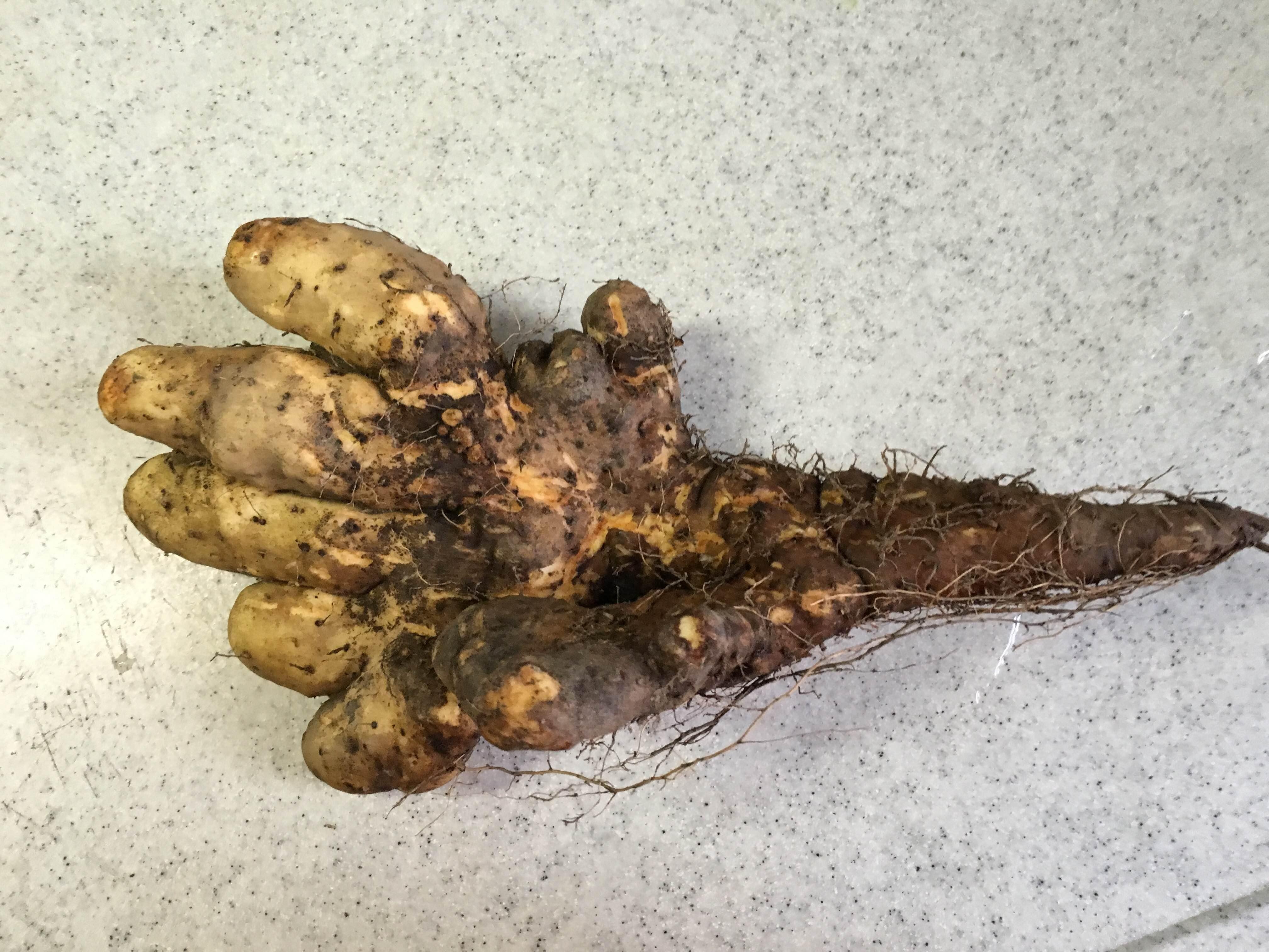 【自然薯】 京都府 京丹波町産 1本